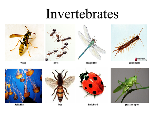 Invertebrates Vertebrates 6118477 on Kindergarten Bilingual Worksheets