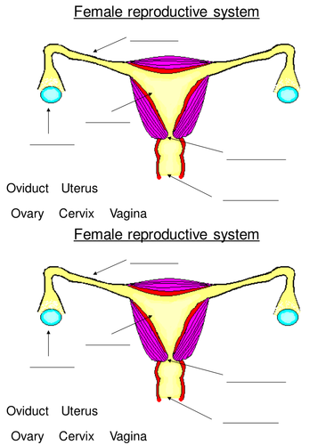 Ks3 Reproduction The Female Reproductive System By L