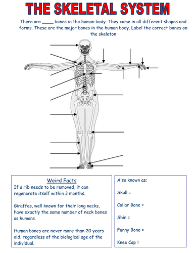 skeletal system worksheets edexcel - Skeletal System Worksheet