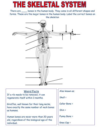Skeletal System worksheets - Edexcel by jemma13 - Teaching ...