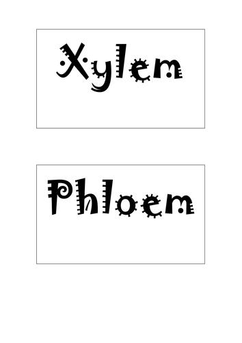 Xylem and Phloem