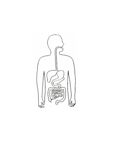 Blank digestive system by jpspooner teaching resources tes ccuart Gallery