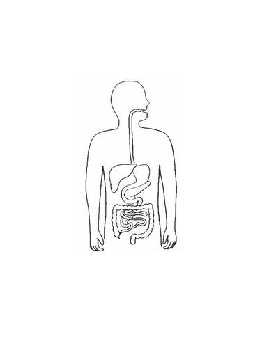 Blank digestive system by jpspooner - Teaching Resources - Tes
