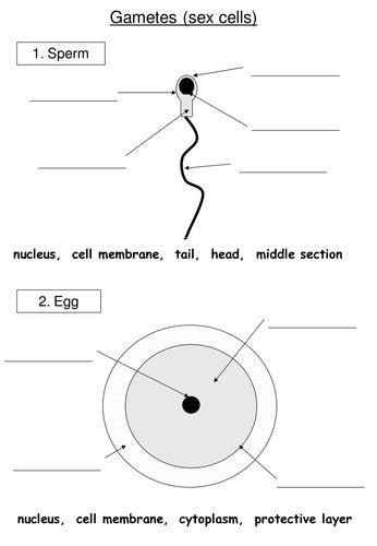 female sex cell diagram in Killeen
