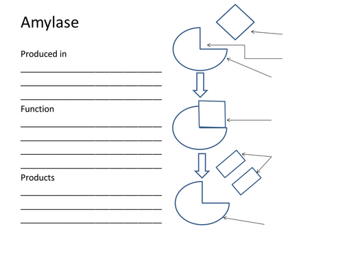 Enzymes Lock and Key Amylase Protease Lipase by Spire – Enzymes Worksheet