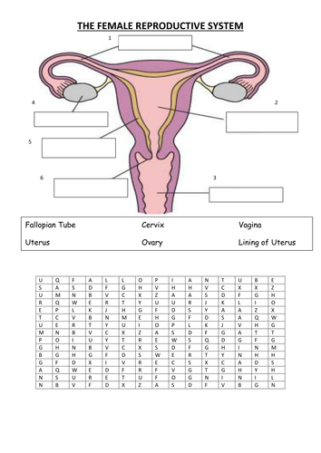 Male And Female Reproductive Systems Labelling Worksheet By