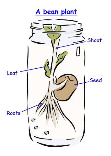 Label The Bean Plant 6203384 on Parts Of A Seed Worksheet