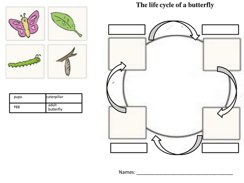 Insects life cycle by dragabi Teaching Resources Tes – Life Cycle Worksheet