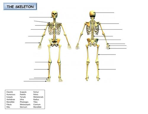 Label the skeleton by djladyk Teaching Resources TES – Skeleton Labeling Worksheet