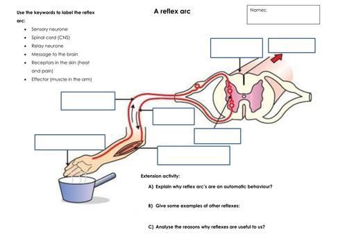 What is a reflex arc by thurbs71 teaching resources tes reflex arc worksheet ccuart Choice Image