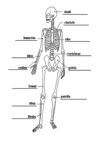year 4 - human body planning and resources by davidhowes1977, Skeleton