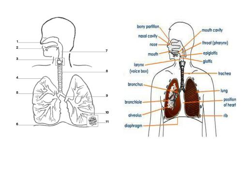 Standard Grade Science: Lungs 1