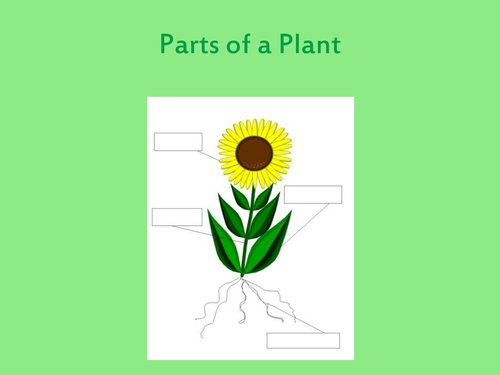 Parts of a plant and their function by luciesmith1984 ...