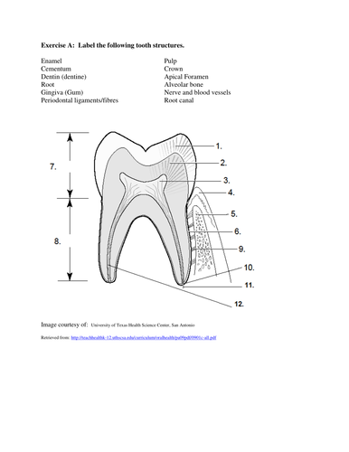Tooth structure by salor teaching resources tes ccuart Images