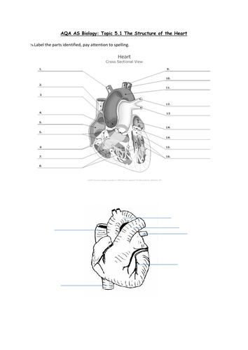 AQA Biology Structure of Heart