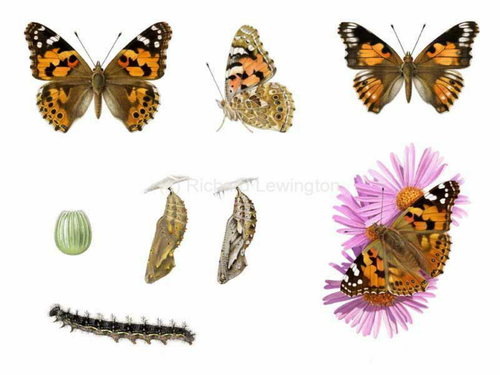 Painted lady butterfly life cycle stages photos by lifeislove