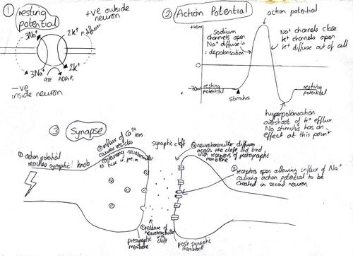 nervous system revision diagram