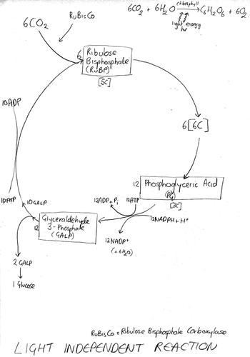 photosynthesis revision diagrams