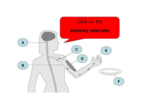 What is a reflex arc by thurbs71 teaching resources tes reflex arc activity ccuart Choice Image