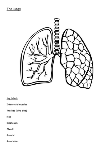 Diagram of the lungs including keywords by hellard11 teaching diagram of the lungs including keywords by hellard11 teaching resources tes ccuart Images