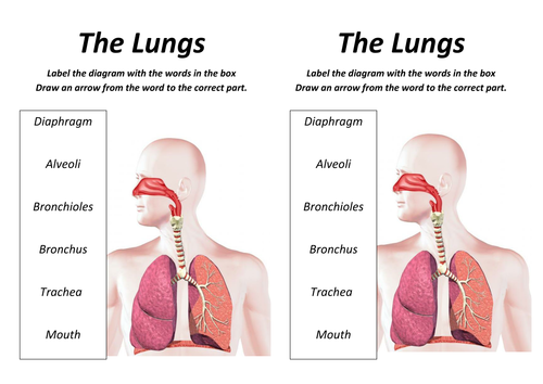 Lungs Lesson with worksheet by rcmcauley Teaching Resources Tes – Label the Heart Worksheet