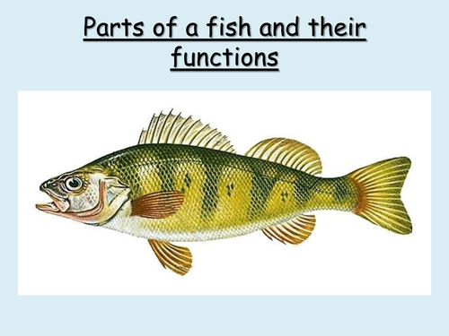 Worksheets Labeling Of Of A Fish Body parts of a fish and their functions by choralsongster teaching resources tes