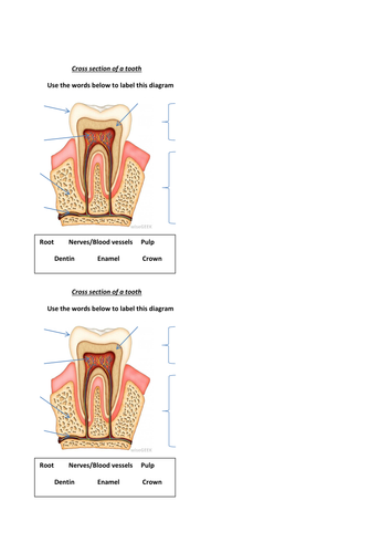 Cross Section Of A Tooth By Alarter Teaching Resources Tes