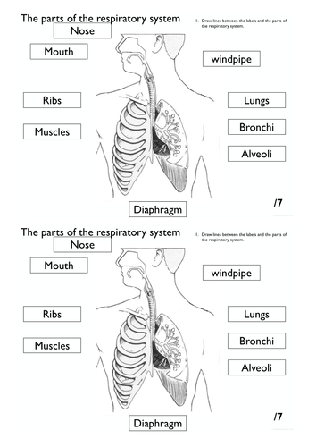 Respiratory system worksheet pack by Rahmich - Teaching Resources - Tes