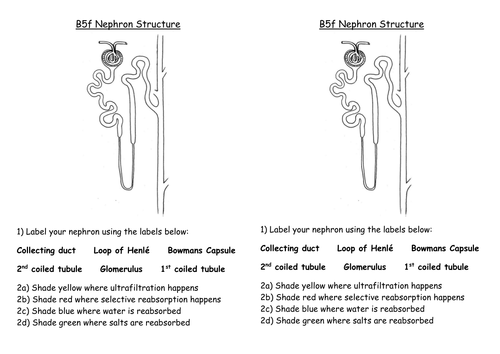 Gcse Edexcel Biology Topic 7 Nephron Structure Worksheet By