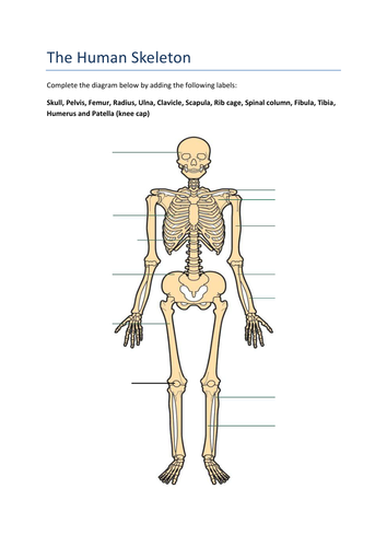 the functions of the human skeleton by _miss_sunshine_ - teaching, Skeleton