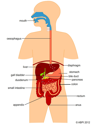 Digestive system labelled by abpischools teaching resources tes ccuart Image collections