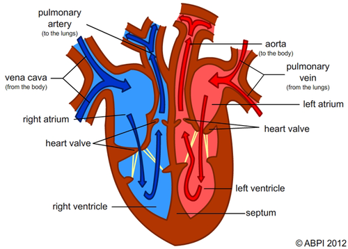 labelled heart by abpischools teaching resources tes heart diagram unlabeled #1