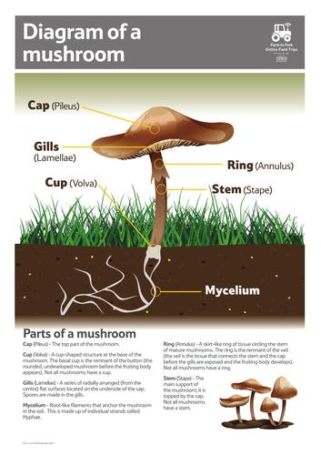 diagram of a mushroom diagram of a mushroom teaching resources diagram of a typical mushroom diagram of a mushroom teaching resources