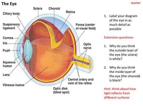 Eye Dissection by TRJ Teaching Resources TES – Cow Eye Dissection Worksheet Answers