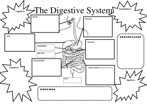 Structure and Function of Digestive System by JamesHargreaves – Digestive System Worksheet High School