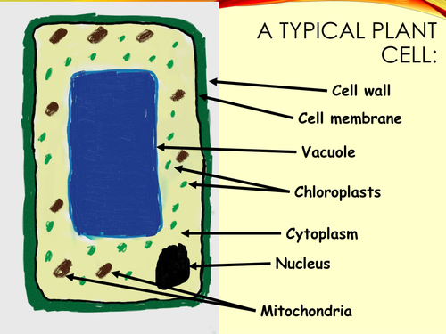Plant cell diagram for new KS3 curriculum   Teaching Resources