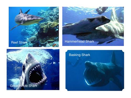 Shark Big Write