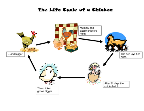 The life cycle of a chicken by agrant Teaching Resources Tes – Life Cycle of a Chicken Worksheet