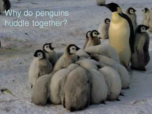 how to keep body warm penguins huddle