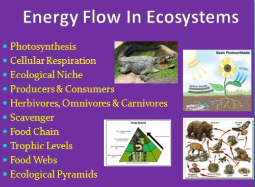Energy Flow in Ecosystems Ecology PowerPoint Lesson Notes and – Energy Flow in Ecosystems Worksheet