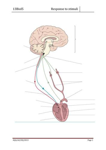AQA A2 biology control of heart rate worksheet   Teaching ...