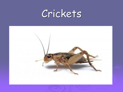 crickets - minibeasts powerpoint